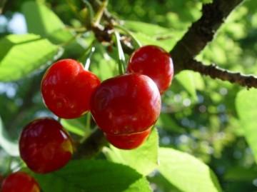 medium_fruit-campagne-cerises-chez-seine-292833.jpg